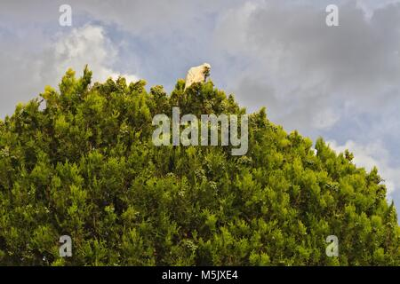Little Corella, an Australian parrot, feeding on top of a tree, against a cloudy sky. - Stock Image