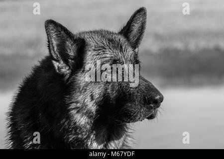 my dear friend Odin, a spectacular German shepherd dog, enjoying the beach in winter, with bath in the sea The German - Stock Image