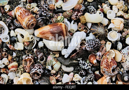Cone shells on an Australian beach. - Stock Image