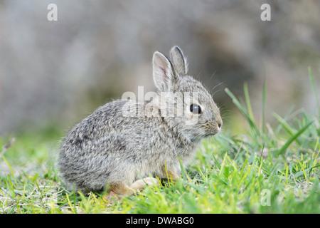 A baby cottonail rabbit. - Stock Image