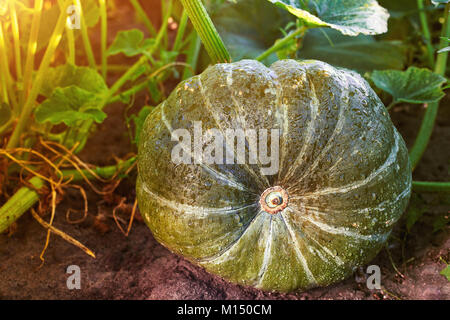 Home Grown Organic Pumpkin on vegetable garden. The green juicy ripening pumpkin on the kitchen garden. Center, - Stock Image