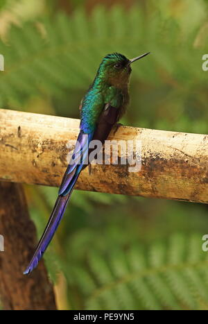 Violet-tailed Sylph (Aglaiocercus kingii) adult male perched on wooden rail  Vinicio Birdwatchers House, Nono-Mindo Road, Ecuador        February - Stock Image