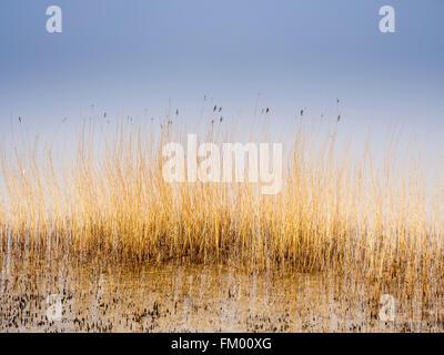 Reed at the coast, Baltic sea near Laboe, close to Kiel, Germany - Stock Image