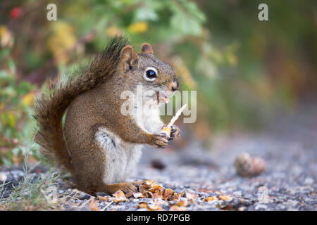 Red Squirrel (Tamiasciurus hudsonicus) eating spruce cone in  in Banff National Park - Stock Image