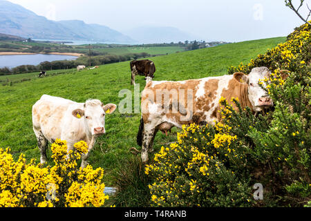 Ardara, County Donegal, Ireland. 18th April 2019. An overcast but warm start to the day. Flowering gorse hedges give a splash of bright colour as cattle feed in a field. Credit: Richard Wayman/Alamy Live News - Stock Image