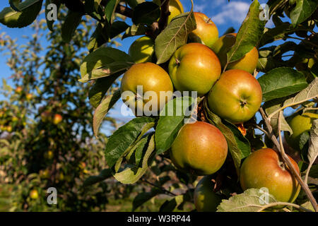 Ripe apples are hanging on the apple tree branch - Stock Image