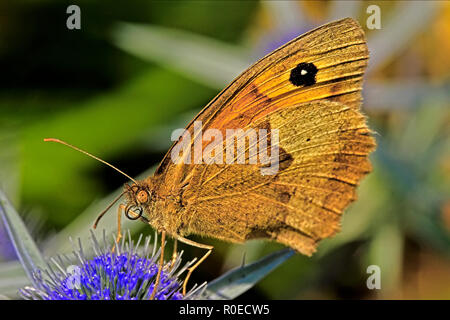 Meadow brown Butterfly On A Blue Flower - Stock Image