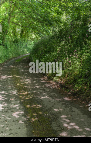 Rural country lane in Cornwall with natural hedgerow. - Stock Image