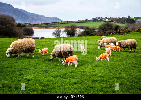 Ardara, County Donegal, Ireland. 11th March 2019. New born lambs are protected by Lammacs - polythene jackets which provide protection against the elements for a newly born lamb and help prevent hypothermia which is the major cause of lamb mortality. Met Eireann issued a Status Orange weather warning as Storm Gareth approaches Ireland today. Credit: Richard Wayman/Alamy Live News - Stock Image
