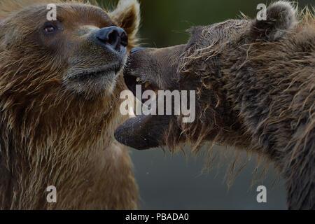 Grizzly bears (Ursus arctos horribilis) fighting, Katamai, Alaska, USA, August - Stock Image