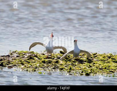 Forster's Terns Courtship Behavior - Stock Image