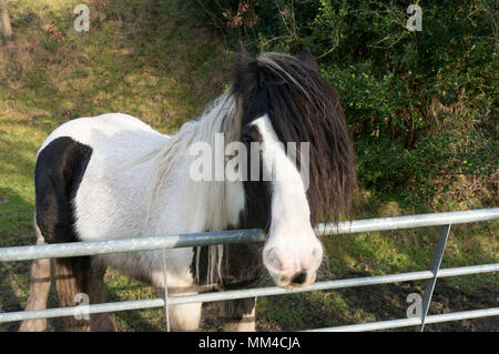 Black and white horse beside a farm gate, Luddenden Foot, West Yorkshire - Stock Image