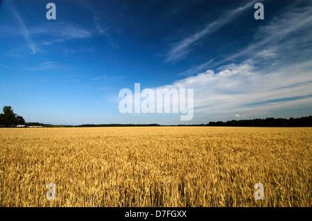 Germany, grain field, trees, skies, clouds - Stock Image