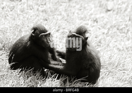 two monkeys holding each other - Stock Image