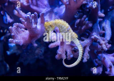 A seahorse in a tank in an aquarium. - Stock Image
