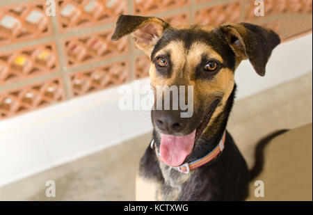 Happy dog is a very excited happy looking dog with a great big smile on his face. - Stock Image