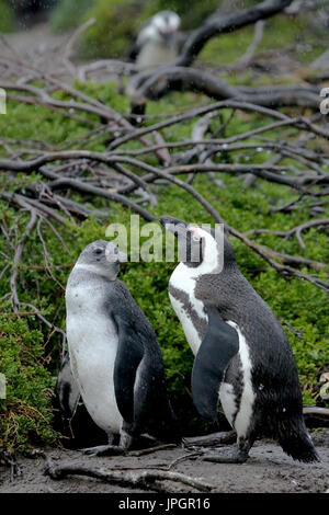 African penguin or Jackass Penguin (Spheniscus demersus) mother and chick at the penguin colony of Stony Point, getting curious about visitors - Stock Image