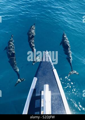 Three spinner dolphins swimming underwater off a catamaran boat. Kauai, Hawaii USA. - Stock Image