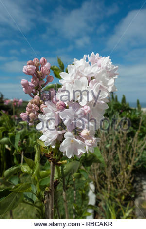 new flowers on a lilac bush Syringa vulgaris - Stock Image