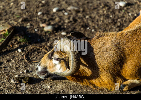 Male of a brown Cameroon Sheep (Ovis Aries) lying on the ground. Sheep's face. - Stock Image