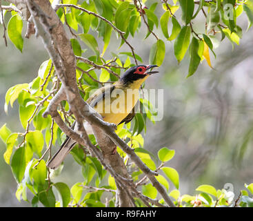 Yellow Figbird, Northern Race (Sphecotheres flaviventris), Lake Tinaroo, Atherton Tableland,  Far North Queensland, FNQ, QLD, Australia - Stock Image