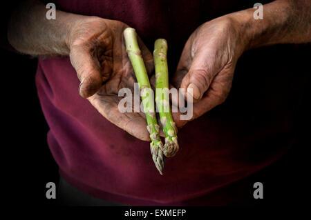A farmer or gardener cradling a pair of Asparagus - Stock Image