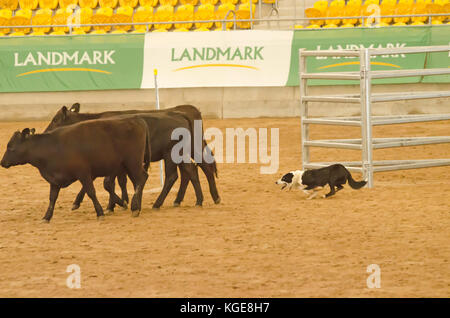 Cattle Dog Trials at an indoor arena. Tamworth Australia. - Stock Image