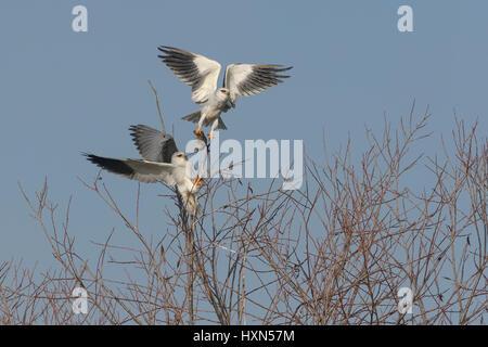 Black-shouldered kite or black-winged kite (Elanus caeruleus) adult pair engaged in food pass. Male (above) delivering - Stock Image