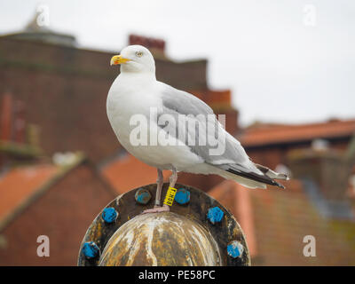 A herring gull Larus argentatus with BTO yellow leg rings Y:H08 in Whitby North Yorkshire England UK - Stock Image