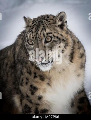 Snow Leopard Oriah  at Triple D Game Farm - Stock Image