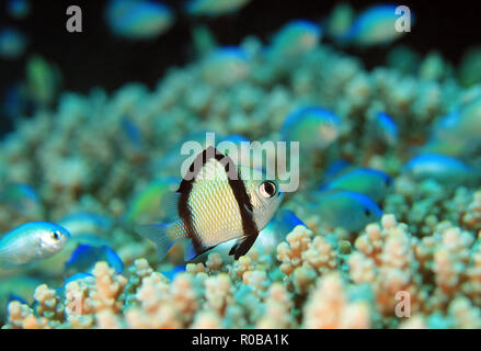 Two-stripe Damsel (Dascyllus reticulatus) on a Coral. Moalboal, Philippines - Stock Image