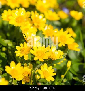 Lesser celandine (Ranunculus ficaria) in bloom, Saxony, Germany - Stock Image
