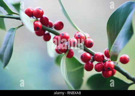 Holly leaves and berries. Close-up of red berries on a holly bush. - Stock Image