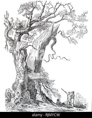 An engraving depicting the Nannau Oak shortly before it fell on 13 July 1813. Howel Sele, Lord of Nannau, was killed during a hunting quarrel with his cousin Owen Glendower, and his body was hidden in the hollow trunk of the tree. Dated 19th century - Stock Image