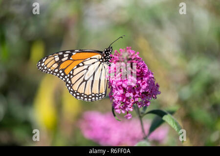 Monarch butterfly, Danaus plexippus, feeding on Butterfly bush flowers, Buddleja or Buddleie during southern migration in October. Kansas, USA - Stock Image