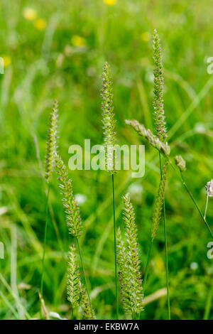 Crested dogs tail grass, Cynosurus cristatus, Cressbrook Dale NNR Peak District National Park June 2014 - Stock Image