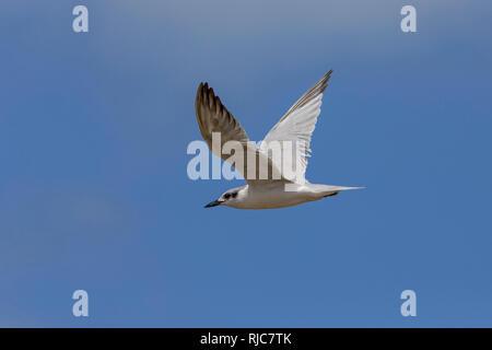 Gull-billed Tern, flight, Boavista, Cape Verde (Gelochelidon nilotica) - Stock Image