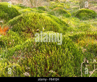 Typical wetland landscape ecological scene showing sphagnum moss mounds which forms the fuel peat and is often threatened - Stock Image