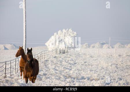 Winter Frost Saskatchewan Canada ice storm horse - Stock Image