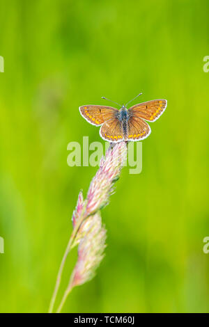 Close up of a female  brown argus butterfly, Aricia agestis, resting on vegetation - Stock Image