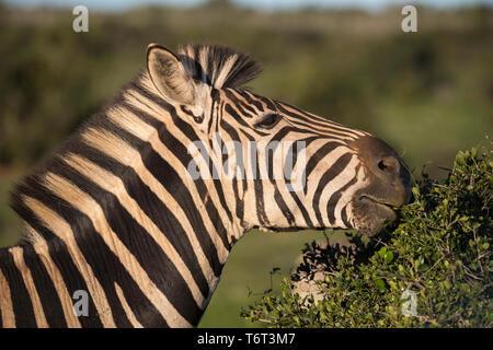Plains zebra (Equus quagga) browsing, Addo Elephant national park, Eastern Cape, South Africa, September 2018 - Stock Image