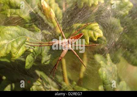 Nursery web / Wedding-present spider (Pisaura mirabilis : Pisauridae), female standing guard after laying eggs, - Stock Image