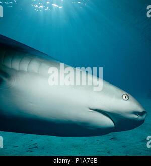 Caribbean Reef Shark (Carcharhinus perezi) hunting Yellowtail Snappers (Ocyurus chrysurus), Bahamas - Caribbean Sea. Image digitally altered to remove - Stock Image