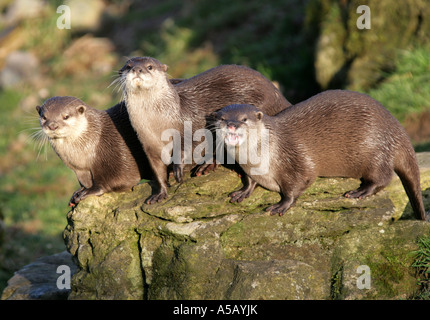Oriental Small-clawed Otters, Aonyx cinerea. Also Known as Asian Short-clawed Otters - Stock Image