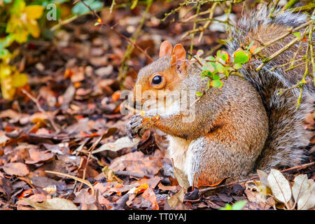Squirrel eating acorns in the Regent's Park of London - Stock Image