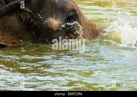 Elephant deep in water - Stock Image