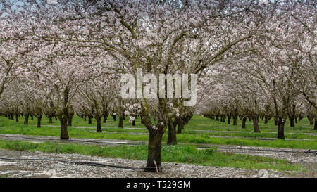 Almond orchard blooming in the spring of Winters, California, USA - Stock Image