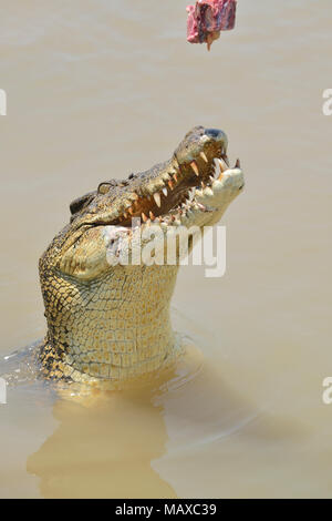 Crocodile jumping for buffalo meat taken while on a Jumping Crocodile Cruise, Adelaide River, Nr. Darwin, Top End, Northern Territory, Australia - Stock Image