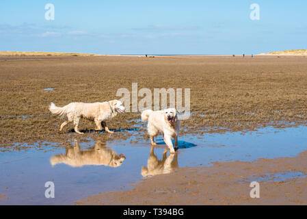 Two Golden Retriever dogs on on Holkham beach and nature reserve on North Norfolk coast, East Anglia, England, UK. - Stock Image