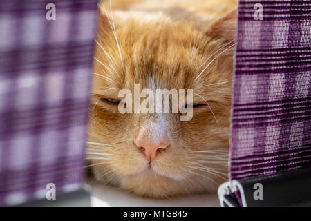 Domestic ginger cat trying to sleep on the window sill behind purple curtains - Stock Image